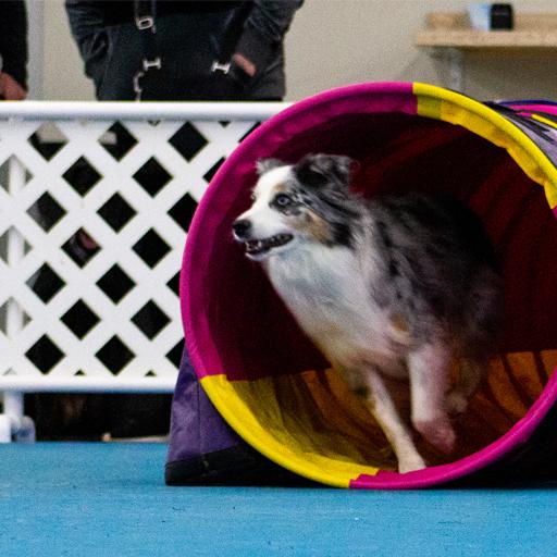 Agility Dog Training Dog 5